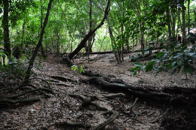 スリランカの国樹アイロンウッドに癒される