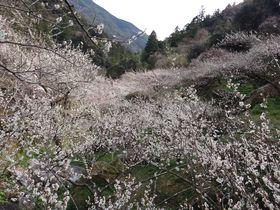 田舎寿司を食べながら梅の花を鑑賞!高知「嫁石梅まつり」