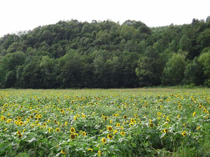 車窓に現れる、自然なひまわり畑