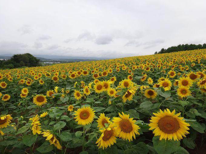 北海道立サンピラーパークの斜面に広がるひまわり畑
