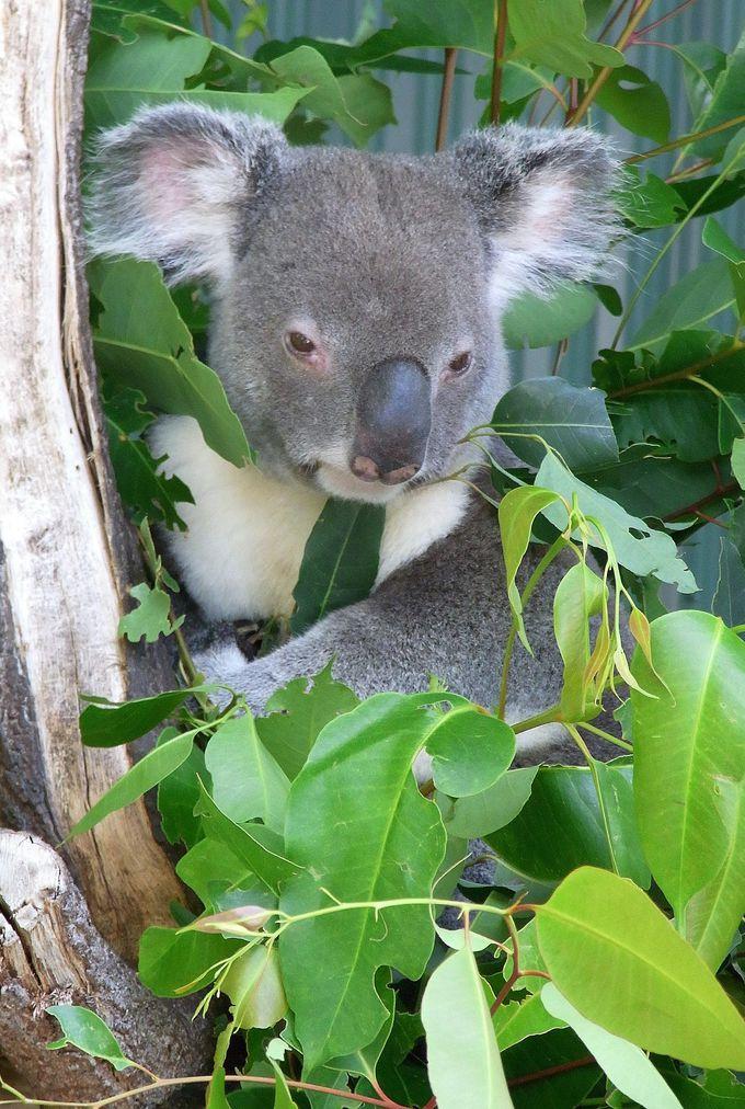 コアラも抱けます♪