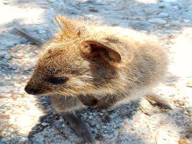 豪「ロットネスト島」は世界一幸せな動物クオッカが住む島!