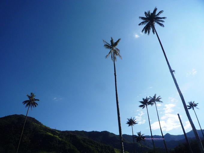 コロンビアの国樹、世界一高いヤシの木を見に渓谷へハイキング!