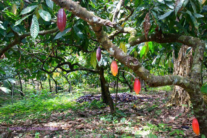 広大な敷地にはカカオやブラジル特産のアサイ、みたことのないようなフルーツまで!