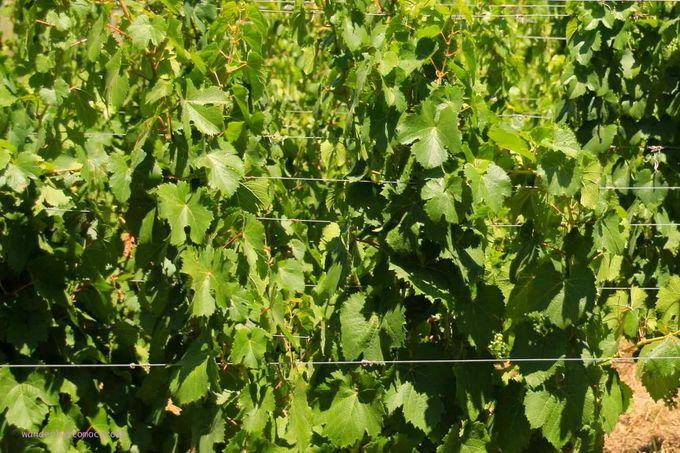 アルゼンチンワインといえばメンドーサと代表的な品種マルベック