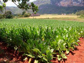 タバコ農園に洞窟プールも!ビニャーレスでキューバの田舎を体験