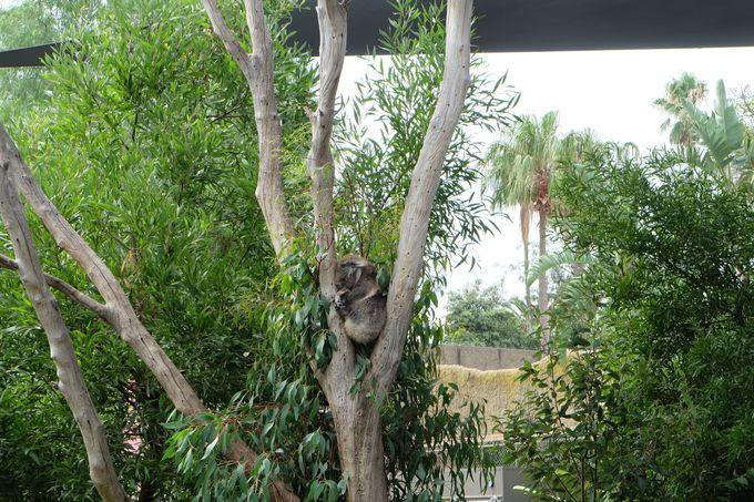 やっぱり欠かせない、オーストラリアの動物たち!