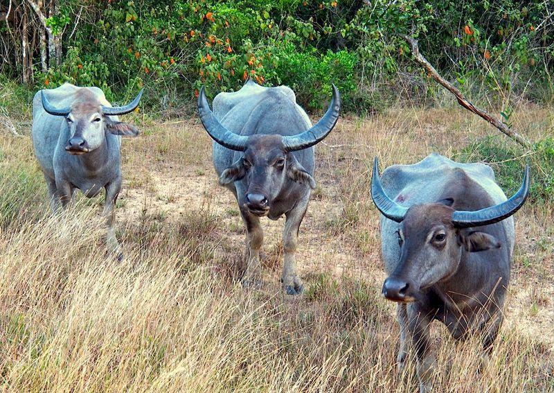 スリランカ最古の国立公園「ウィルパトゥ」でサファリ・キャンプを楽しもう