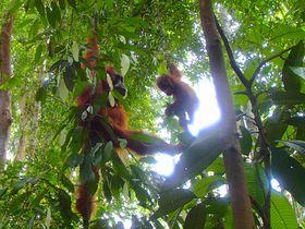 インドネシアの自然遺産トレッキング〜森の住人「オランウータン」に出会う旅〜