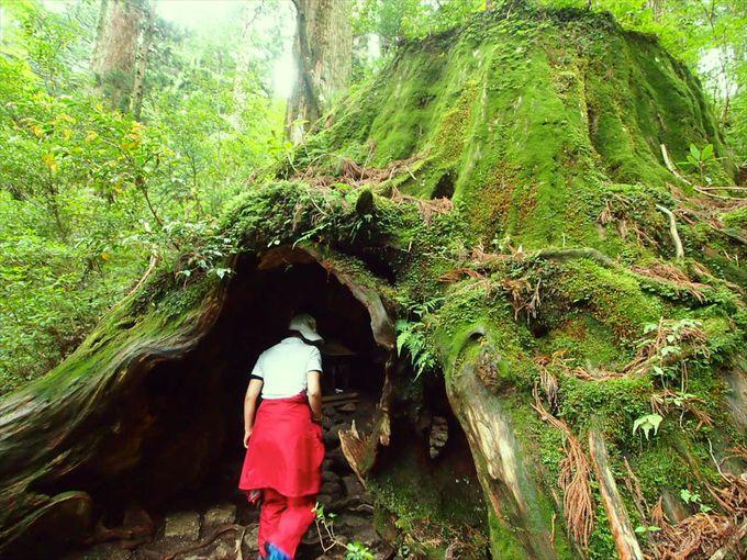 特別な杉?屋久島の「屋久杉」の悠久の歴史が美しい