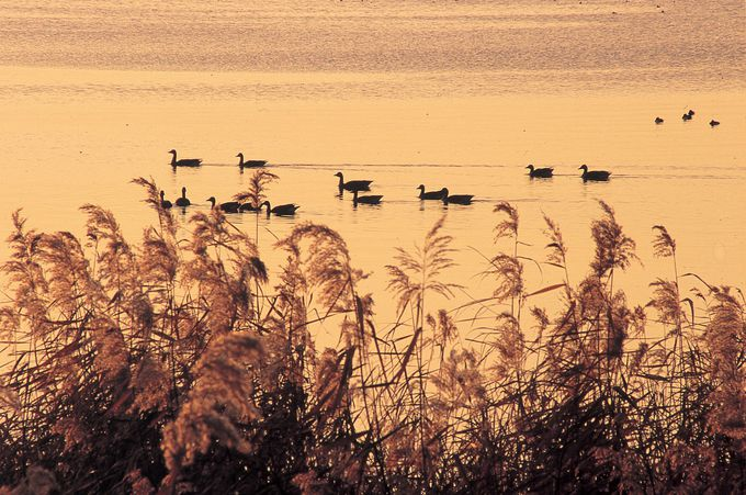 長浜市湖北町の「湖北みずどりステーション」からは夕陽に染められた水鳥たちも