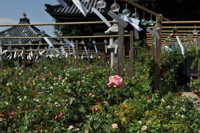 2000種類以上もの薔薇が咲き誇る!