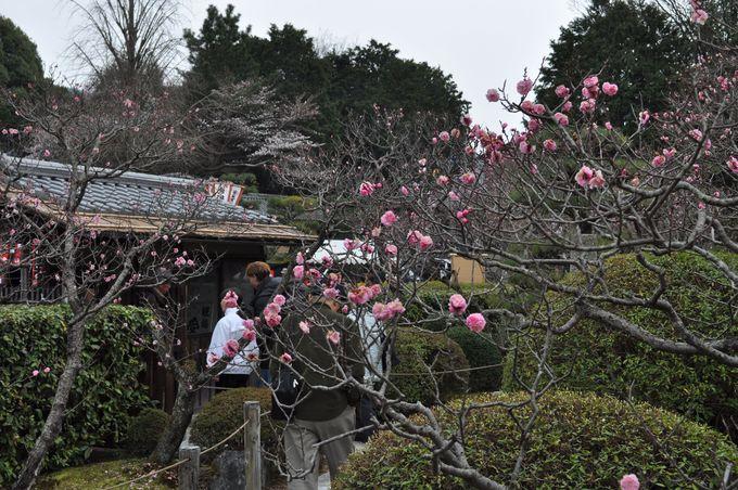 桜と梅の共演!