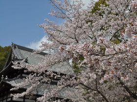 七千本もの桜に包まれる、和歌山を代表する桜の名所「根来寺」