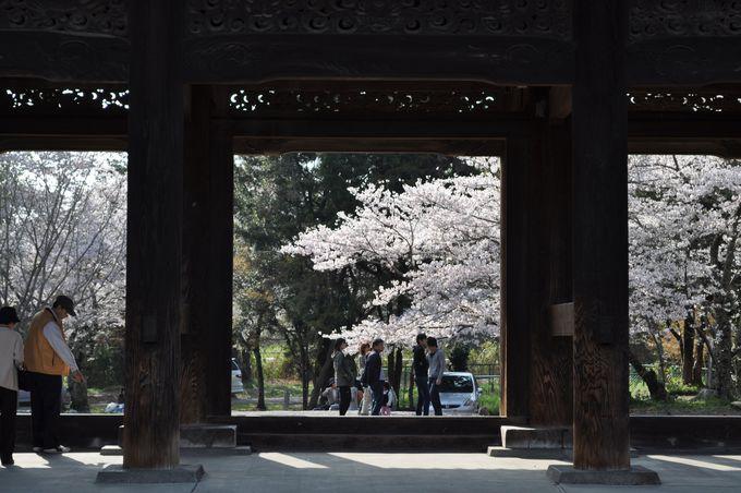 桜と仁王様がおられる大門。