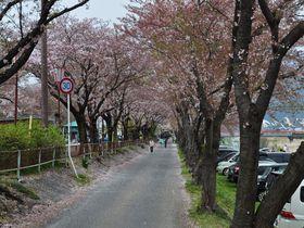 桜と鯉のぼりの共演!岐阜県垂井の春の風物詩・相川の鯉のぼり!|岐阜県|トラベルjp<たびねす>