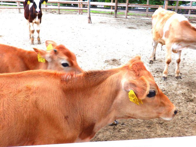 学ぶ体験!乳牛やジャージー牛の乳搾り!に子供たちは大はしゃぎ!
