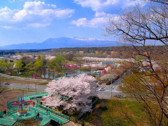 那須岳連山と桜が一緒に眺望できる『黒磯公園の桜』は夜桜も美しい!