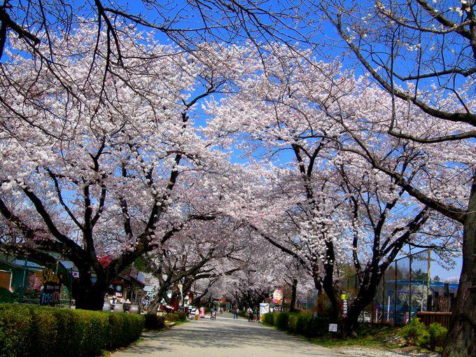 那須塩原市『千本松牧場の桜』は動物と遊べて評判のアイスもあります♪