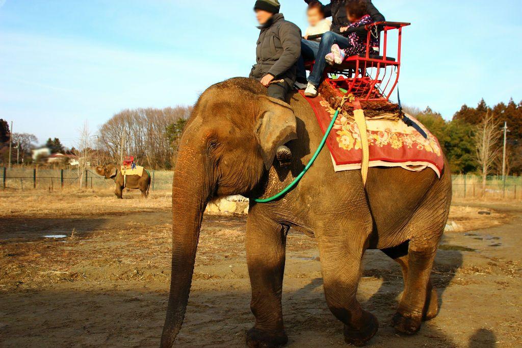 ラオスから2頭のゾウがやってきたよ!ゾウライドが体験できる!
