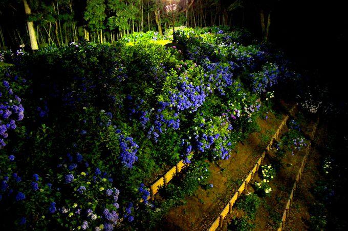 城の「空堀」斜面の「紫陽花」が見事、花の段々畑のよう♪