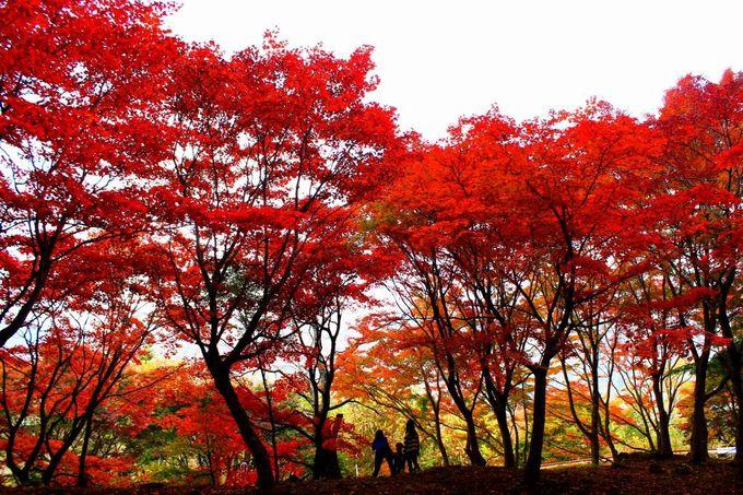 """9月中旬から10月下旬が最盛!「大曲りのもみじ」これが本当の紅葉の""""赤"""""""