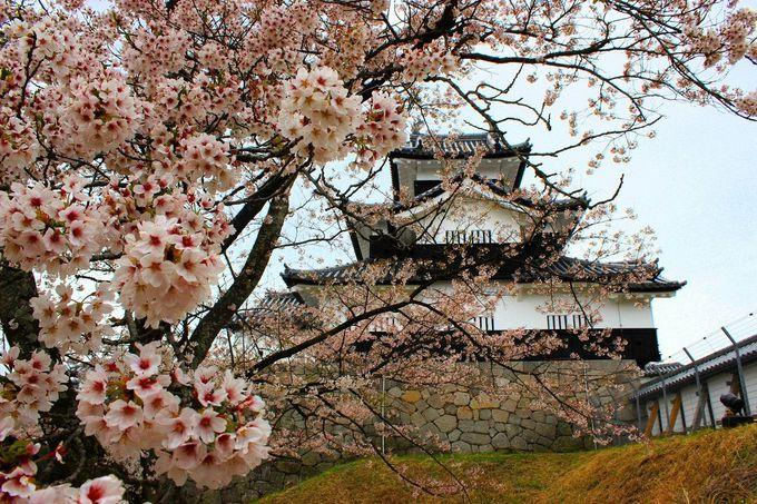 戊辰戦争など数々の悲運を乗り越えて咲く大輪の桜!