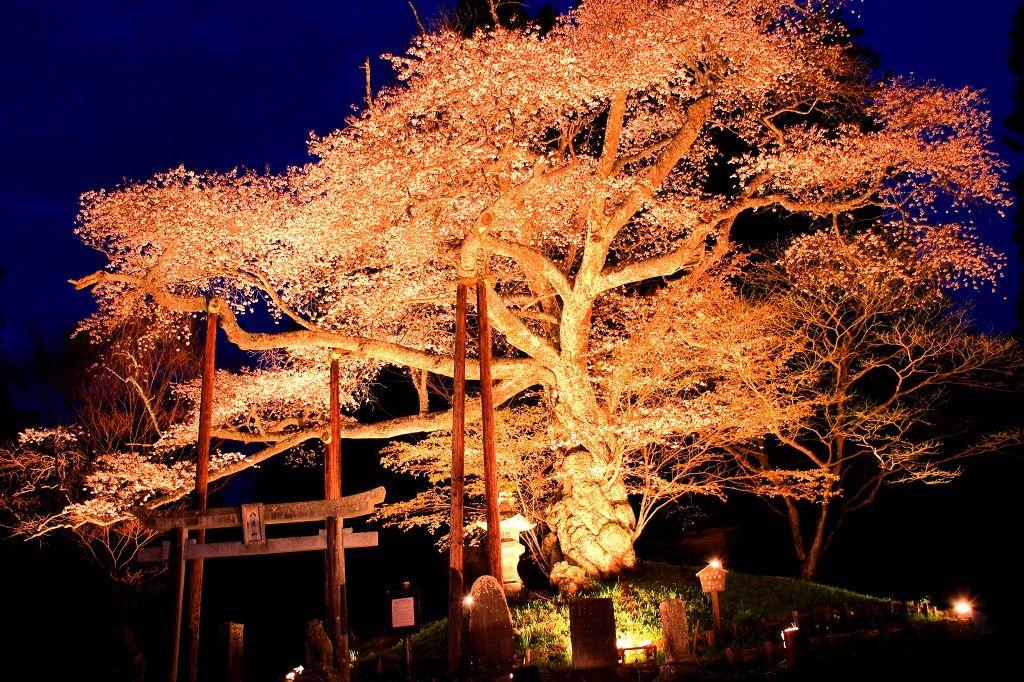 栃木県「那須野が原」神秘的な伝説の山桜と古代桜の名所巡り