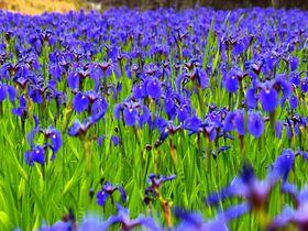 絶滅危惧種のアヤメやツツジも!初夏の那須高原は花盛り|栃木県|トラベルjp<たびねす>