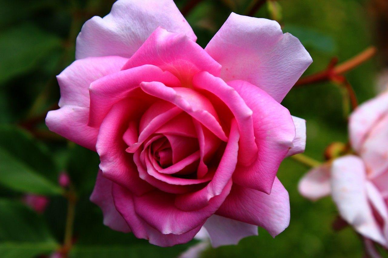 絵画のような薔薇と花の楽園!那須高原「コピスガーデン」