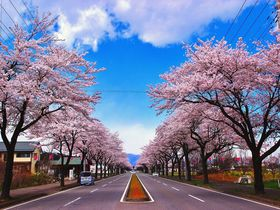 那須高原 1.5km続く野崎の桜並木と烏が森公園の桜祭り