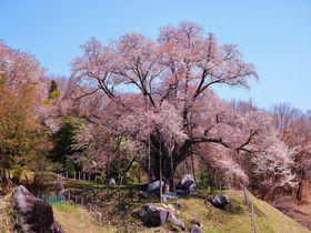 福島県の桜シーズン最後を飾る巨樹!古殿町「越代のサクラ」