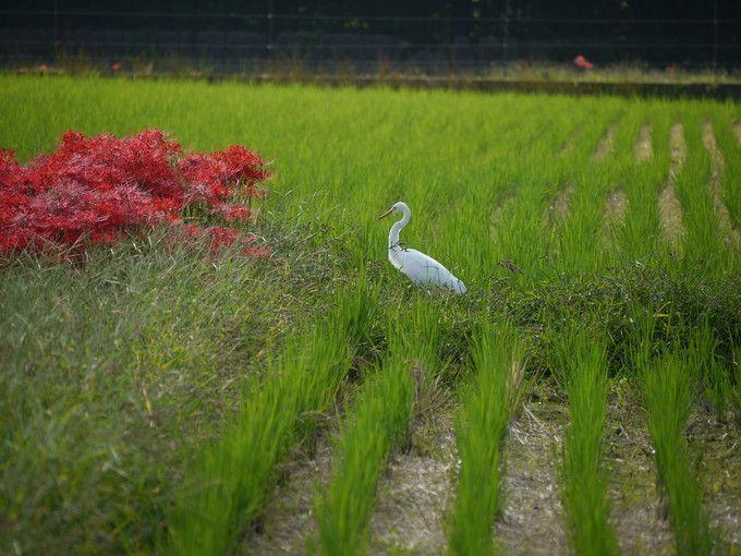 曼珠沙華(彼岸花)と白鷺