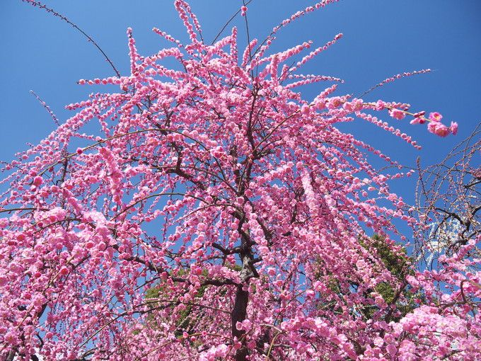 豪華絢爛という言葉がぴったり!京都城南宮のしだれ梅
