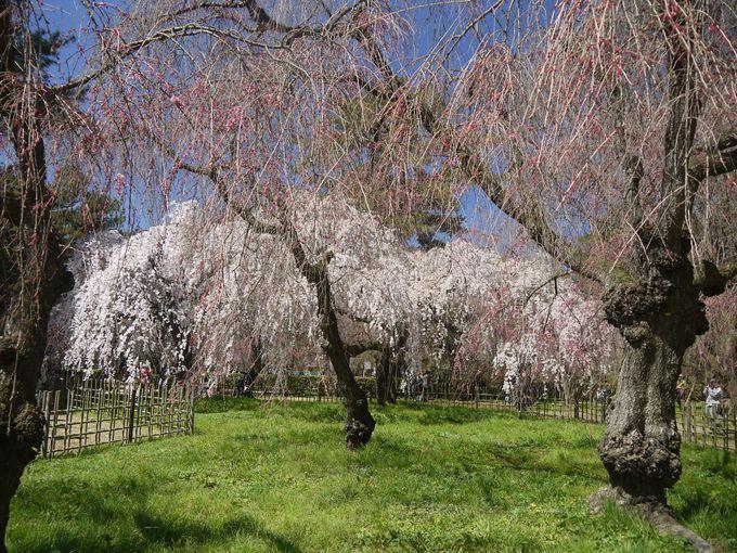 近衛邸跡の庭園に咲くしだれ桜