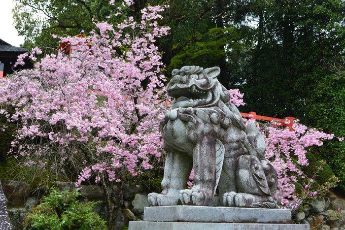 古都の歴史溢れる京都紫野!散策で訪れたい桜の名所4選