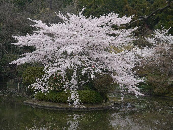 龍安寺鏡容池・桜苑