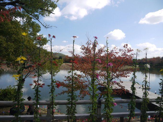 五大堂縁台の嵯峨菊