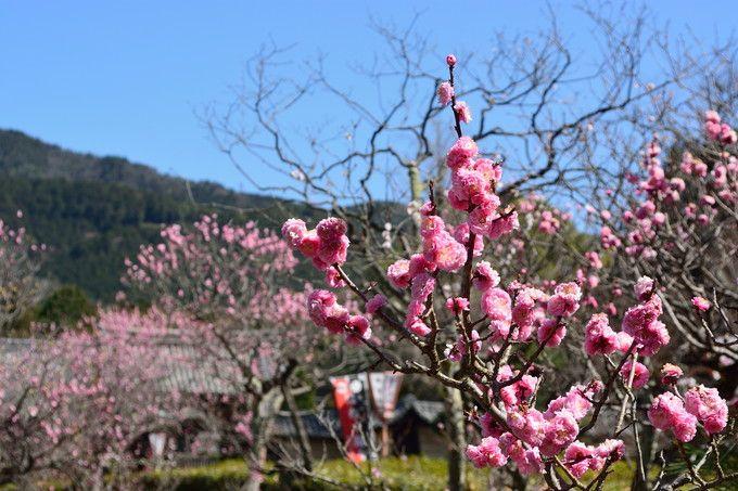 小野小町伝説の京都山科「隨心院 小野梅園」で春を探しませんか?