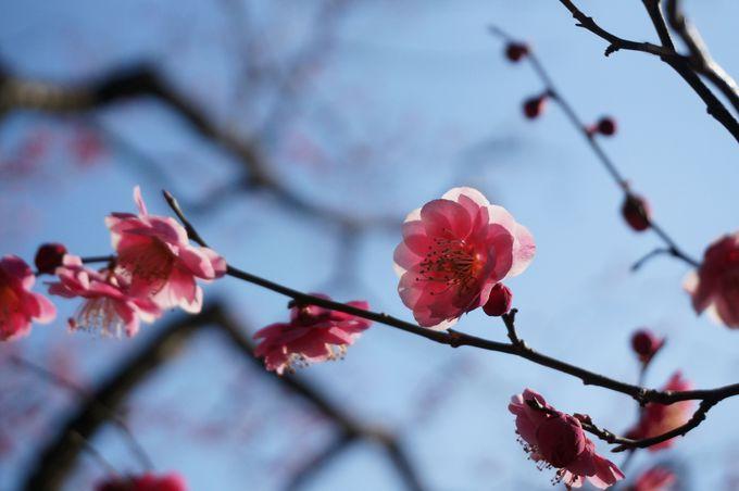 梅の名所としても知られる谷保天満宮。