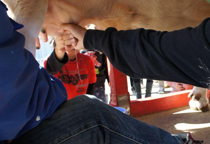 まずは、牛の乳搾り体験を