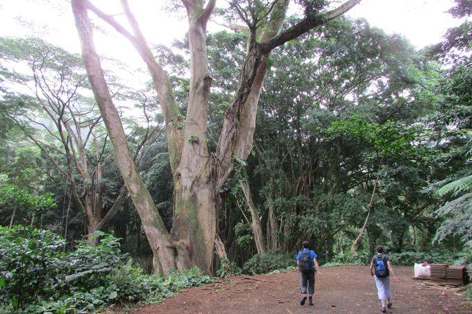 ワイキキから15分で別世界!緑深い熱帯雨林のトレイル