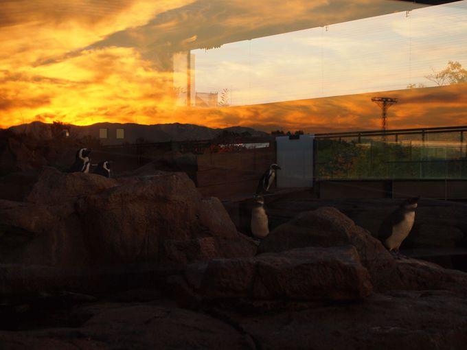 ペンギンたちも夕焼け鑑賞?