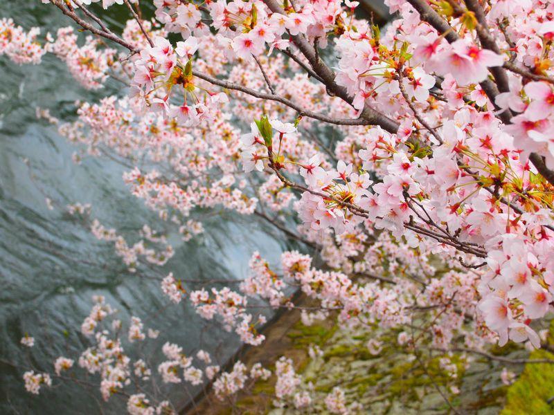 滋賀県「三井寺」の桜は琵琶湖と琵琶湖疏水とともに楽しもう!