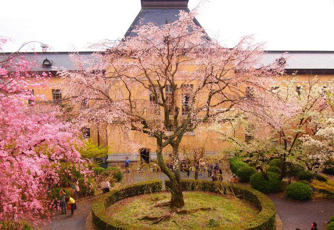 京都府庁舎・旧本館の桜