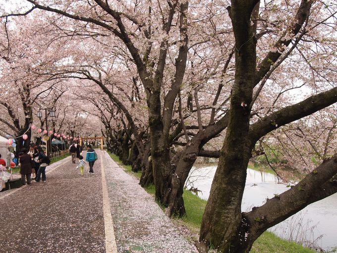 桜が美しい五条川