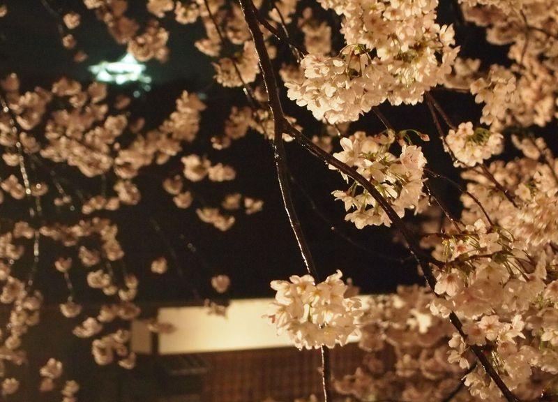 石垣と夜桜のコラボが幻想的!彦根城「夜桜のライトアップ」