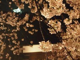 石垣と夜桜のコラボが幻想的!彦根城「夜桜のライトアップ」|滋賀県|トラベルjp<たびねす>