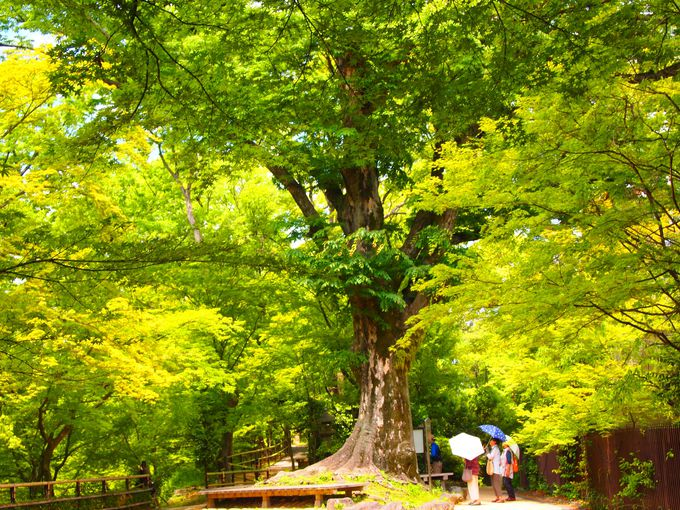 境内屈指の大木「東風」