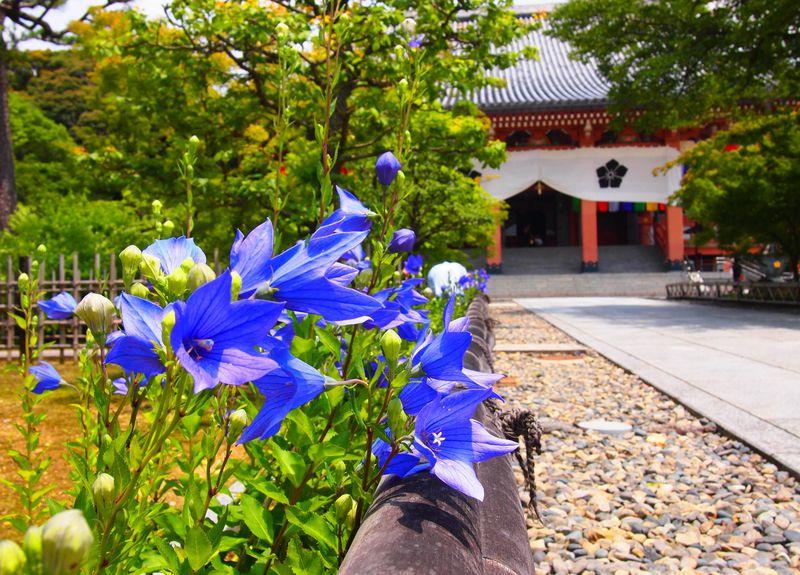花の寺と呼びたい!京都・智積院の紫陽花に桔梗、紅葉に雪景色